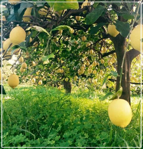 pianta limoni IGP di Siracusa - Azienda Agricola Oliva