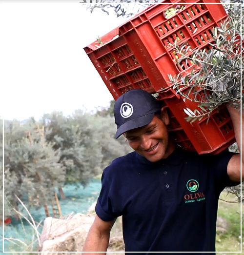 raccolta olive - Azienda Agricola Oliva